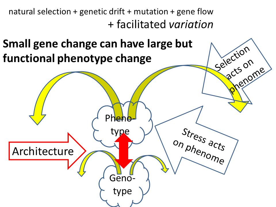 Geno- type Stress acts on phenome Selection acts on phenome natural selection + genetic drift + mutation + gene flow + facilitated variation Small gene change can have large but functional phenotype change Pheno- type Architecture