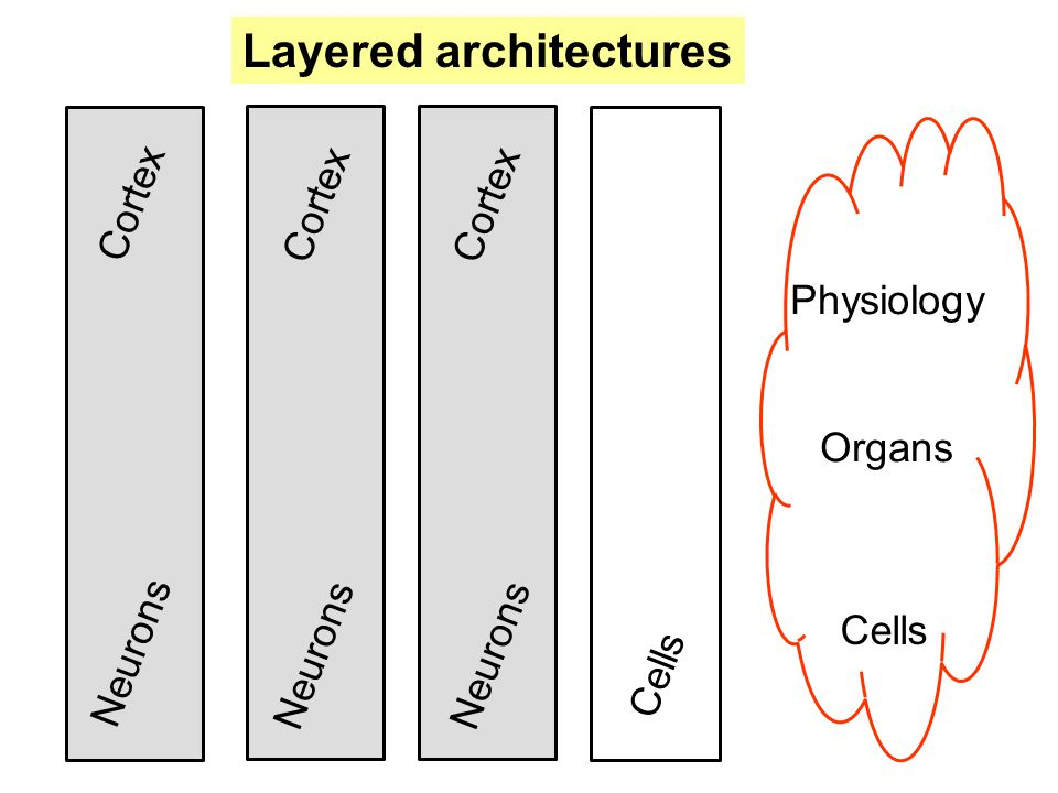 Physiology Organs Neurons Cortex Cells Cortex Layered architectures Cells