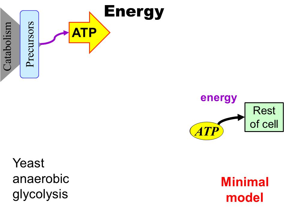 Minimal model Catabolism Precursors ATP Energy ATP Rest of cell energy ATP Yeast anaerobic glycolysis