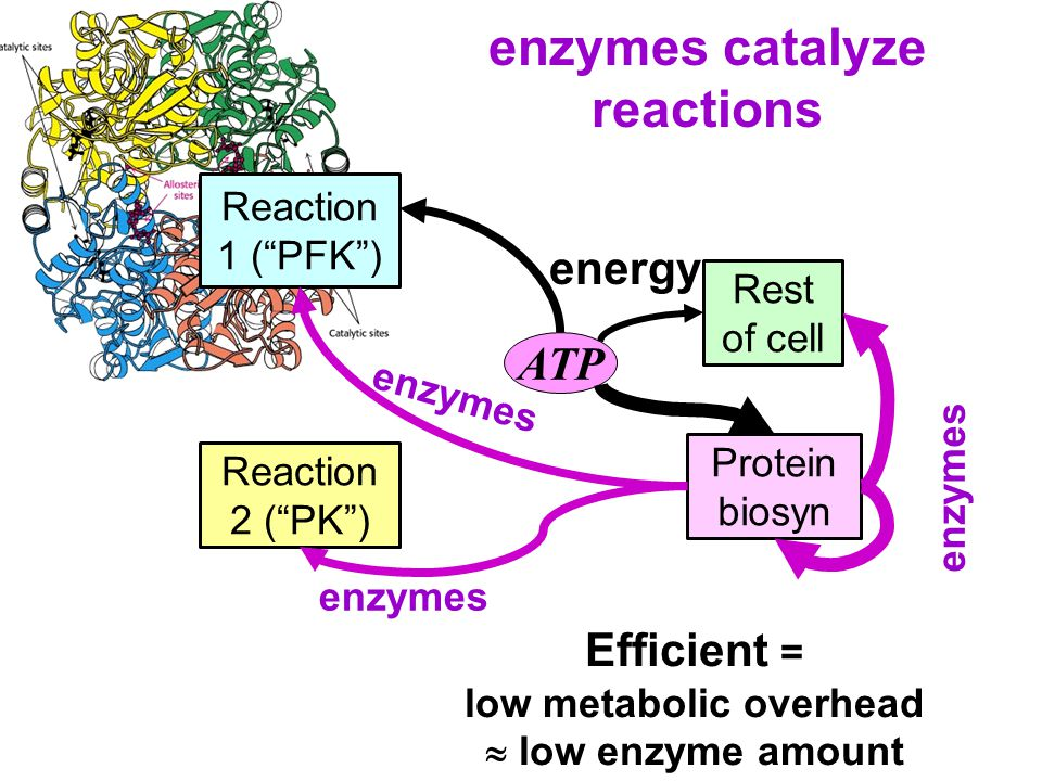 ATP Rest of cell Reaction 2 ( PK ) Reaction 1 ( PFK ) Protein biosyn energy enzymes Efficient = low metabolic overhead  low enzyme amount enzymes catalyze reactions