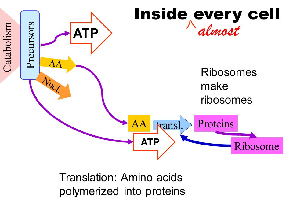 Catabolism AA Ribosome transl. Proteins Precursors Nucl.