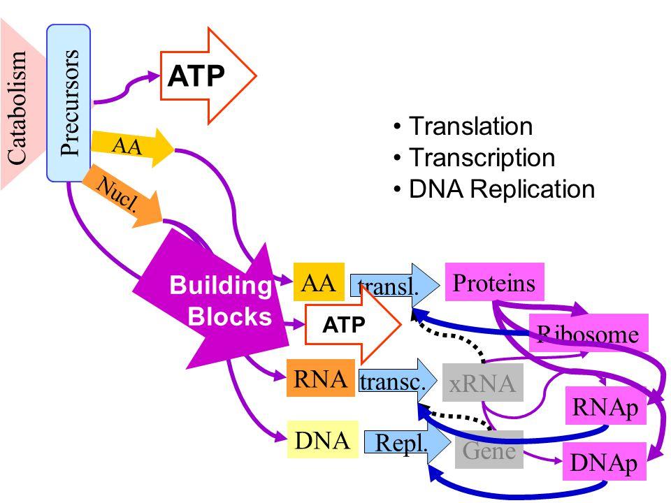 Catabolism AA Ribosome RNA RNAp transl. Proteins xRNA transc.