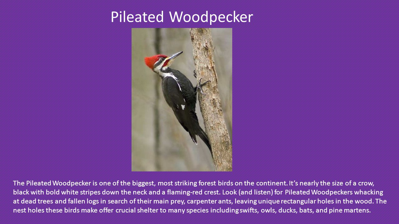 Pileated Woodpecker The Pileated Woodpecker is one of the biggest, most striking forest birds on the continent.