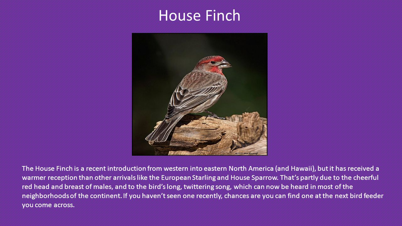 House Finch The House Finch is a recent introduction from western into eastern North America (and Hawaii), but it has received a warmer reception than other arrivals like the European Starling and House Sparrow.