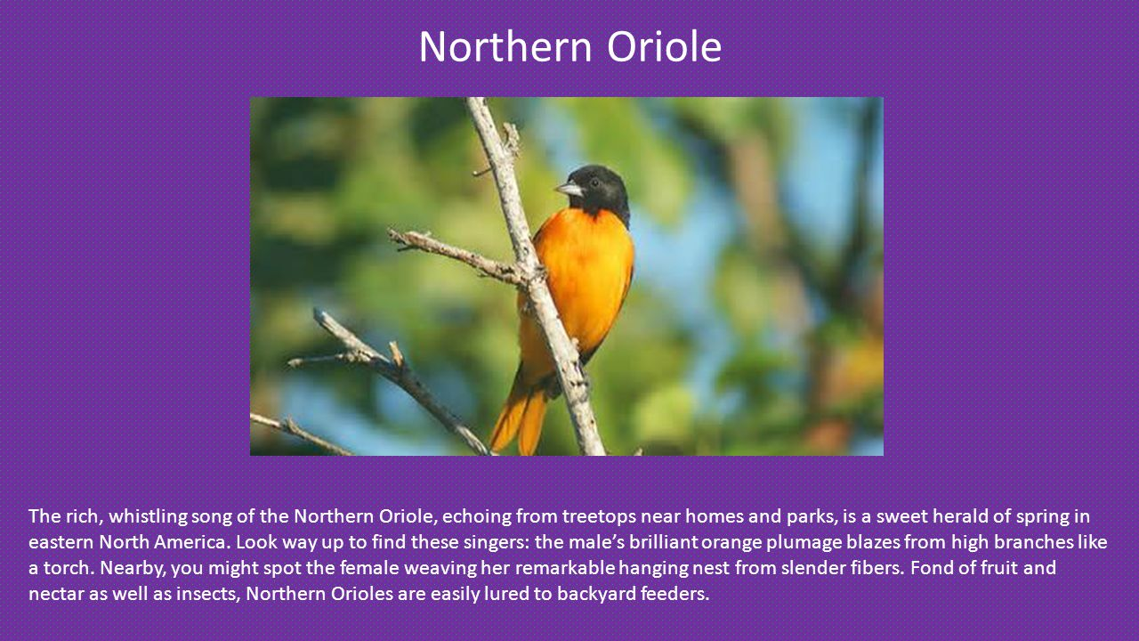Northern Oriole The rich, whistling song of the Northern Oriole, echoing from treetops near homes and parks, is a sweet herald of spring in eastern North America.
