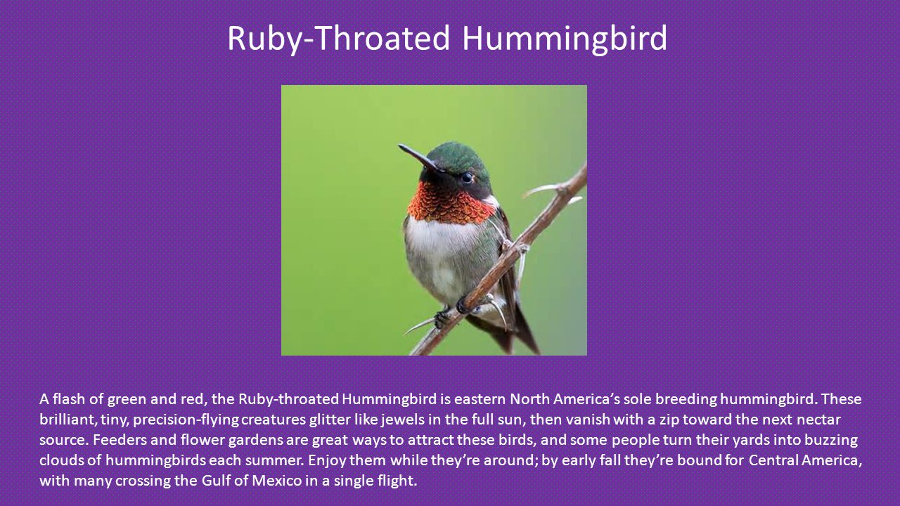 Ruby-Throated Hummingbird A flash of green and red, the Ruby-throated Hummingbird is eastern North America's sole breeding hummingbird.