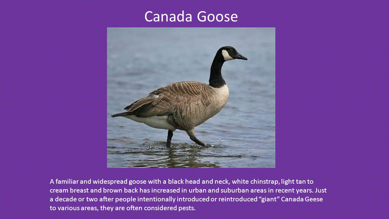 Canada Goose A familiar and widespread goose with a black head and neck, white chinstrap, light tan to cream breast and brown back has increased in urban and suburban areas in recent years.