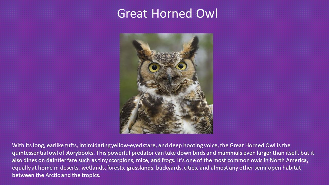 Great Horned Owl With its long, earlike tufts, intimidating yellow-eyed stare, and deep hooting voice, the Great Horned Owl is the quintessential owl of storybooks.