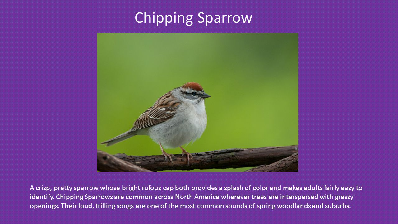 Chipping Sparrow A crisp, pretty sparrow whose bright rufous cap both provides a splash of color and makes adults fairly easy to identify.