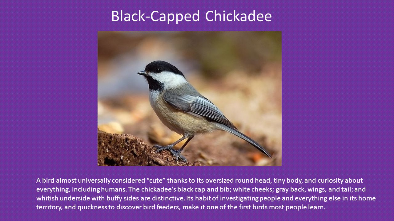 Black-Capped Chickadee A bird almost universally considered cute thanks to its oversized round head, tiny body, and curiosity about everything, including humans.
