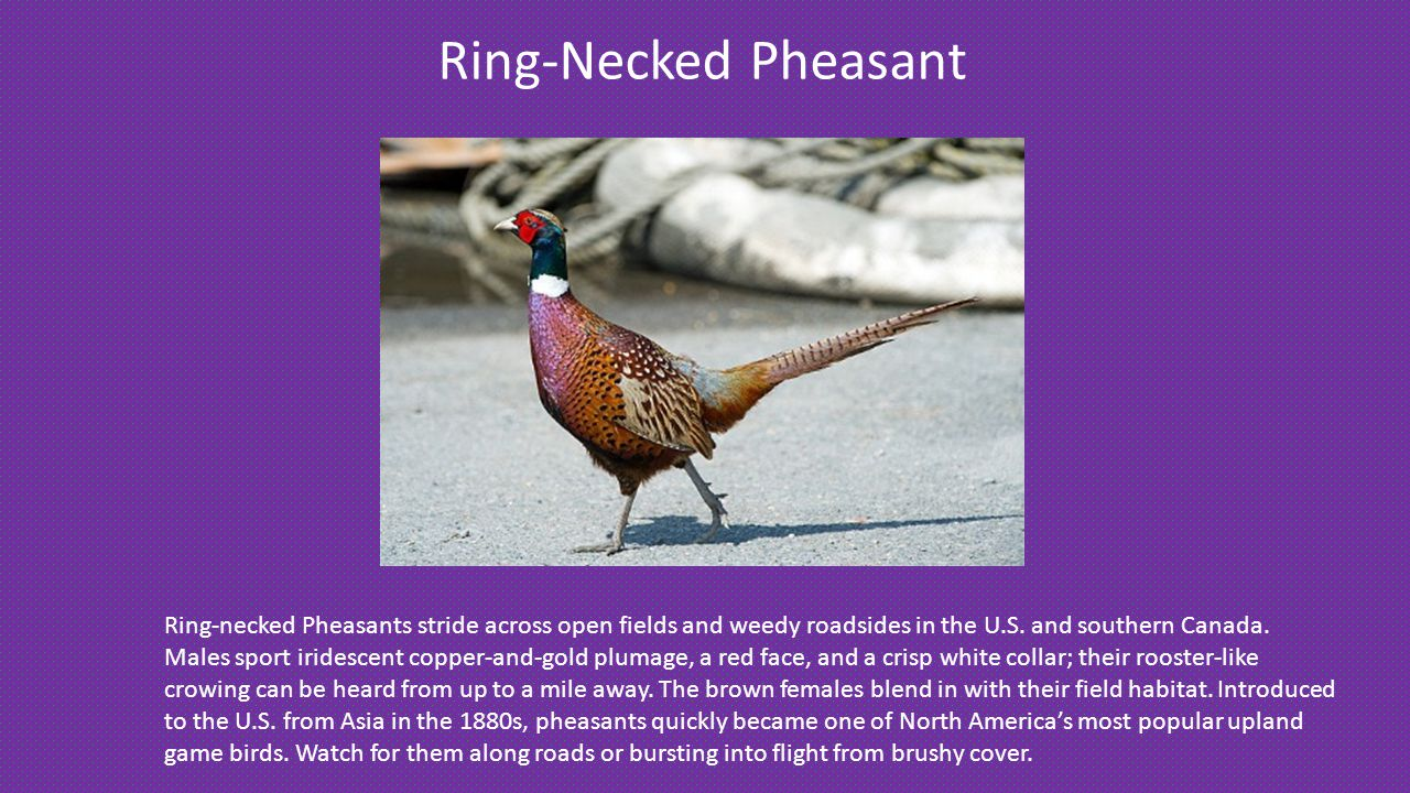 Ring-Necked Pheasant Ring-necked Pheasants stride across open fields and weedy roadsides in the U.S.