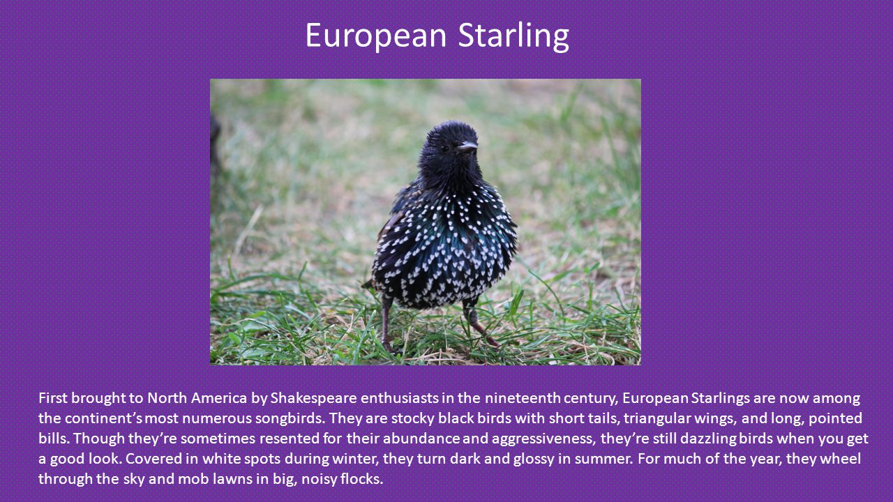 European Starling First brought to North America by Shakespeare enthusiasts in the nineteenth century, European Starlings are now among the continent's most numerous songbirds.