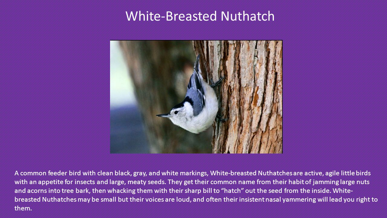 White-Breasted Nuthatch A common feeder bird with clean black, gray, and white markings, White-breasted Nuthatches are active, agile little birds with an appetite for insects and large, meaty seeds.