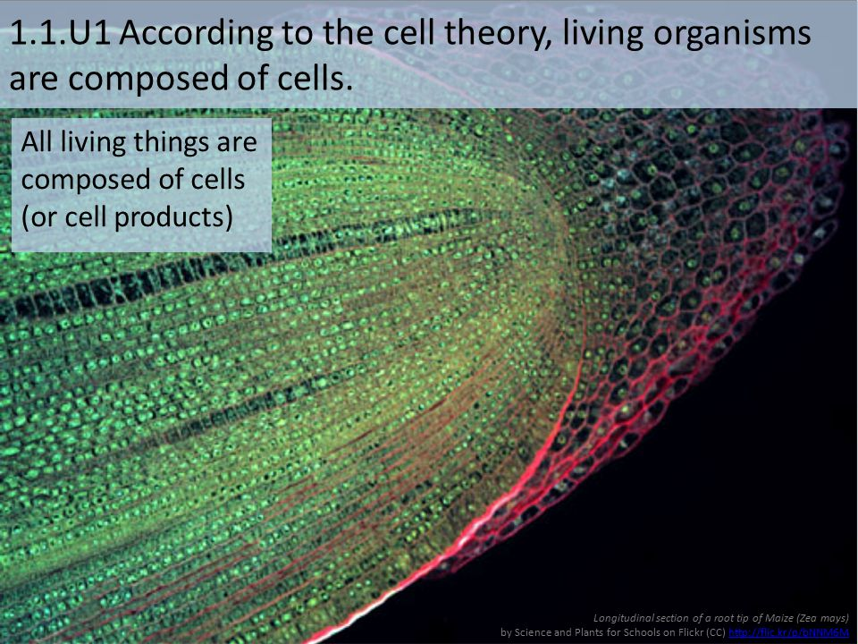 1.1.U1 According to the cell theory, living organisms are composed of cells. Longitudinal section of a root tip of Maize (Zea mays) by Science and Pla