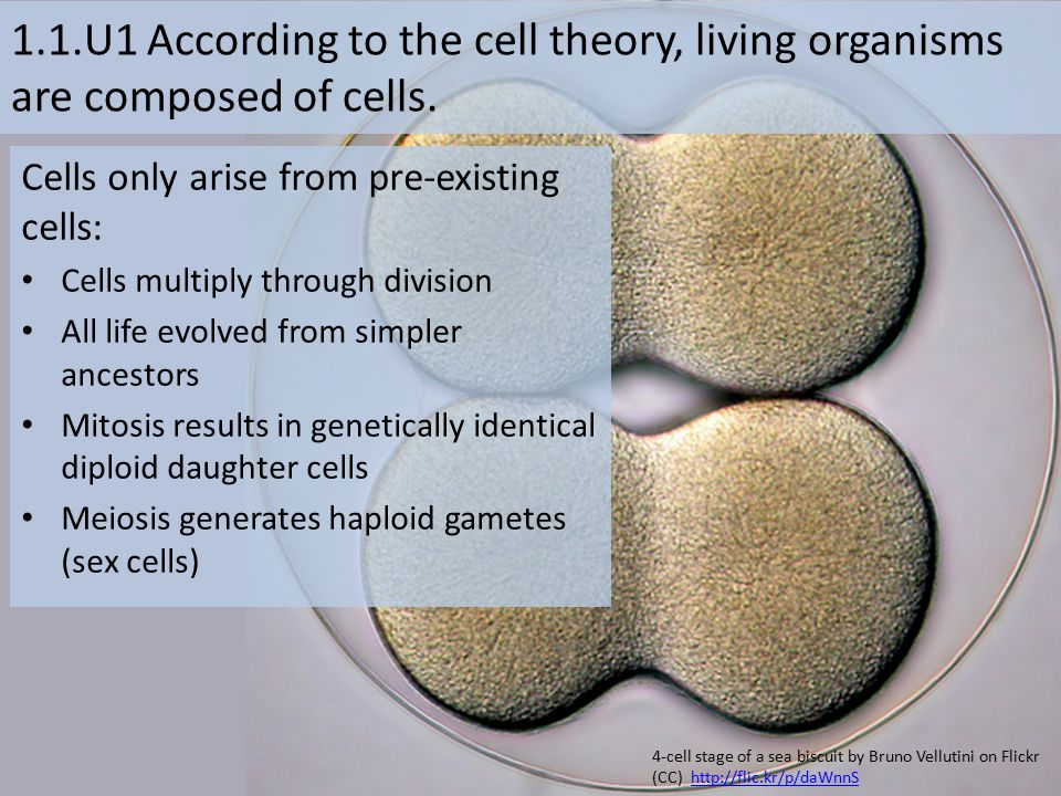 1.1.U1 According to the cell theory, living organisms are composed of cells. Cells only arise from pre-existing cells: Cells multiply through division