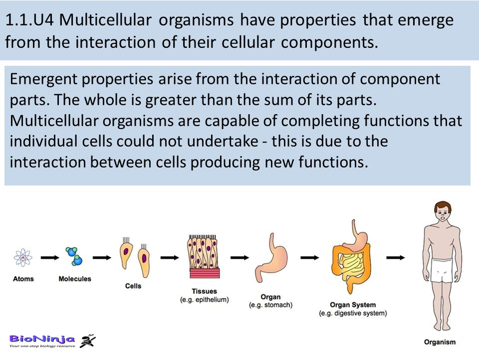 1.1.U4 Multicellular organisms have properties that emerge from the interaction of their cellular components. Emergent properties arise from the inter