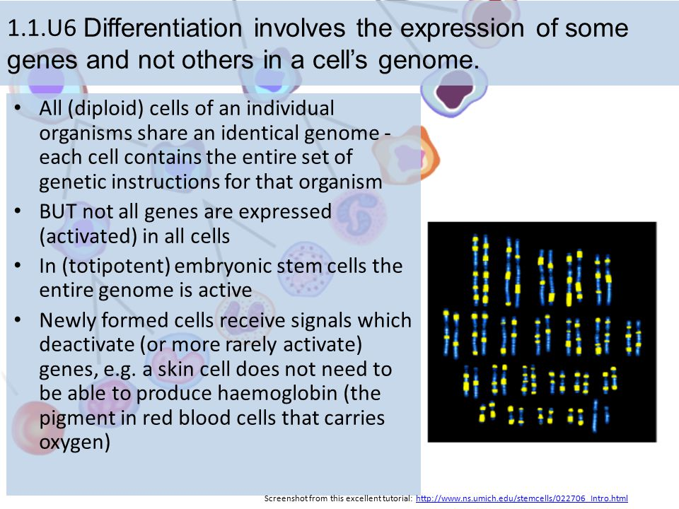 1.1.U6 Differentiation involves the expression of some genes and not others in a cell's genome. All (diploid) cells of an individual organisms share a