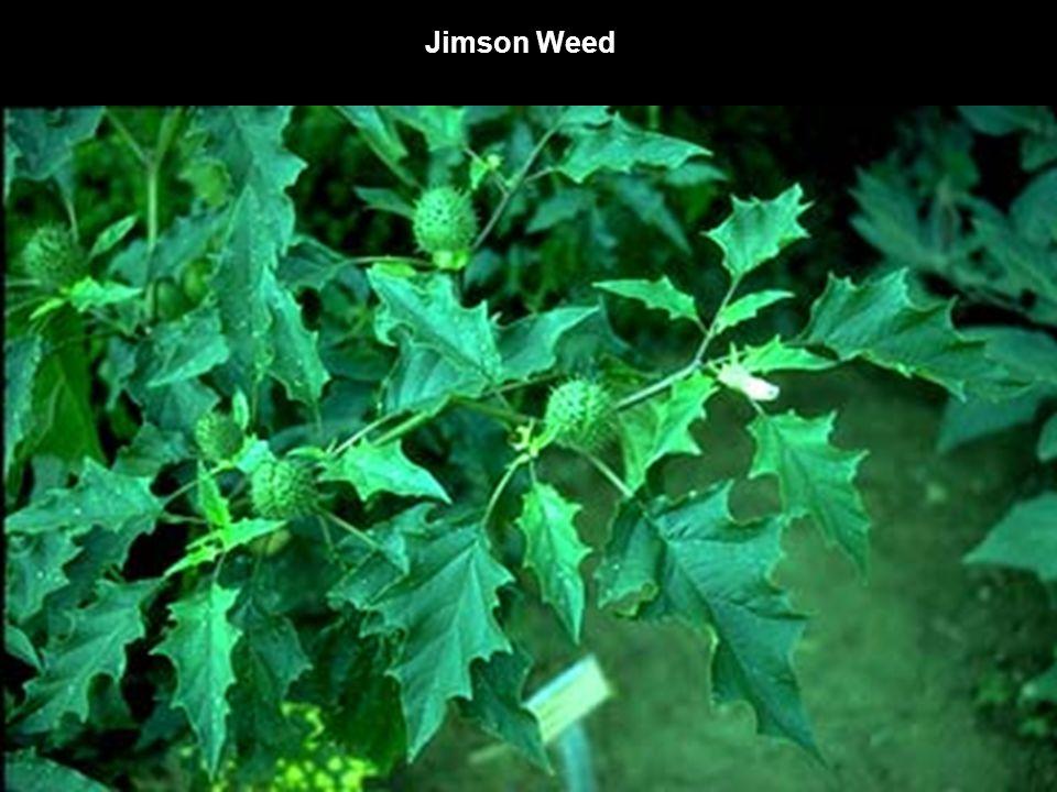 Jimson Weed