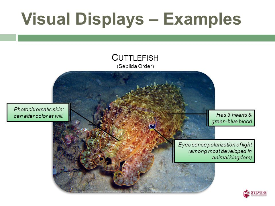 Visual Displays – Examples Eyes sense polarization of light (among most developed in animal kingdom) C UTTLEFISH (Sepiida Order) Has 3 hearts & green-blue blood Photochromatic skin; can alter color at will.