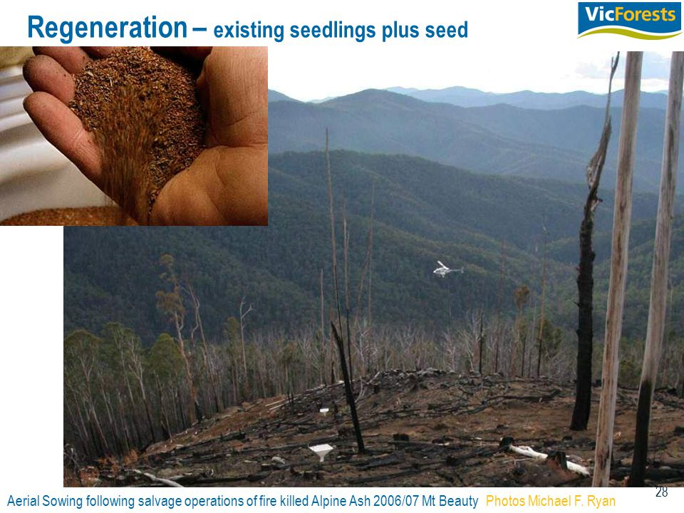 28 Regeneration – existing seedlings plus seed Aerial Sowing following salvage operations of fire killed Alpine Ash 2006/07 Mt BeautyPhotos Michael F.