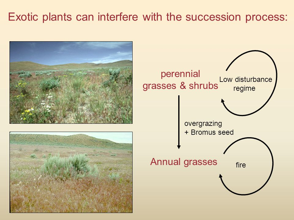 Exotic plants can interfere with the succession process: perennial grasses & shrubs Low disturbance regime overgrazing + Bromus seed Annual grasses fire