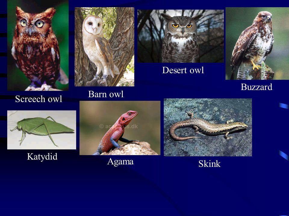 Screech owl Barn owl Desert owl Buzzard Katydid Agama Skink