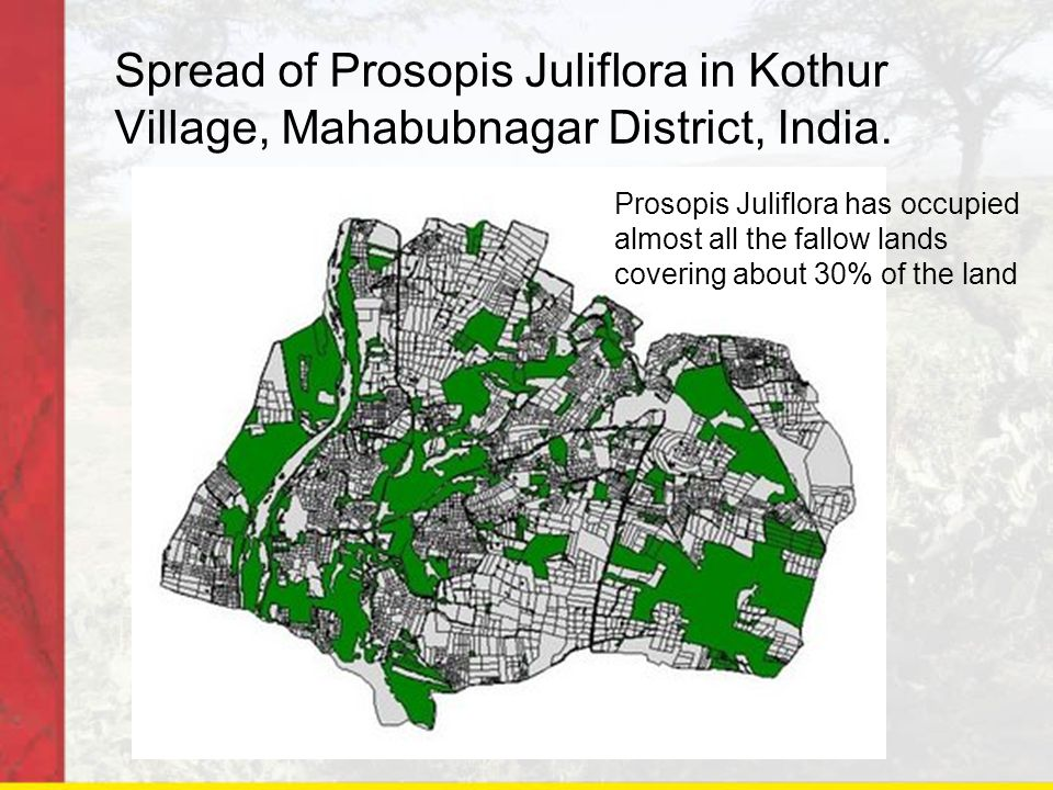 Spread of Prosopis Juliflora in Kothur Village, Mahabubnagar District, India. Prosopis Juliflora has occupied almost all the fallow lands covering abo