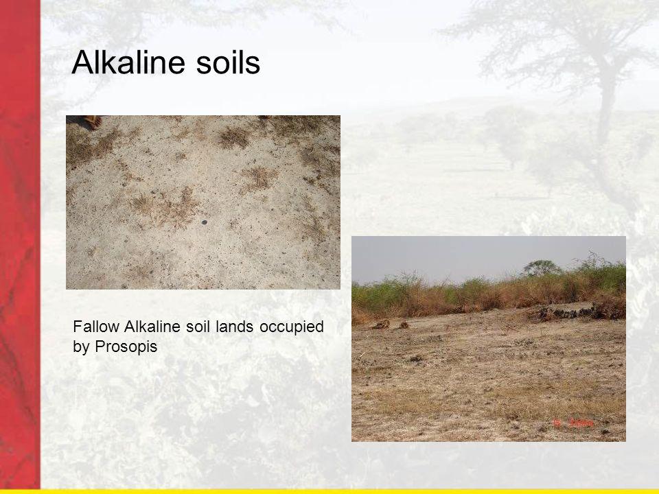 Alkaline soils Fallow Alkaline soil lands occupied by Prosopis