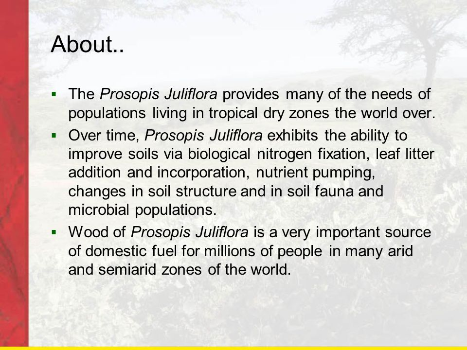 About..  The Prosopis Juliflora provides many of the needs of populations living in tropical dry zones the world over.  Over time, Prosopis Juliflor