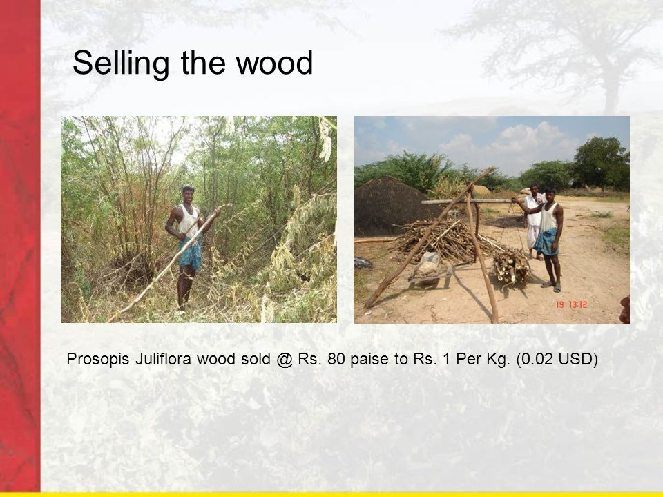 Selling the wood Prosopis Juliflora wood sold @ Rs. 80 paise to Rs. 1 Per Kg. (0.02 USD)