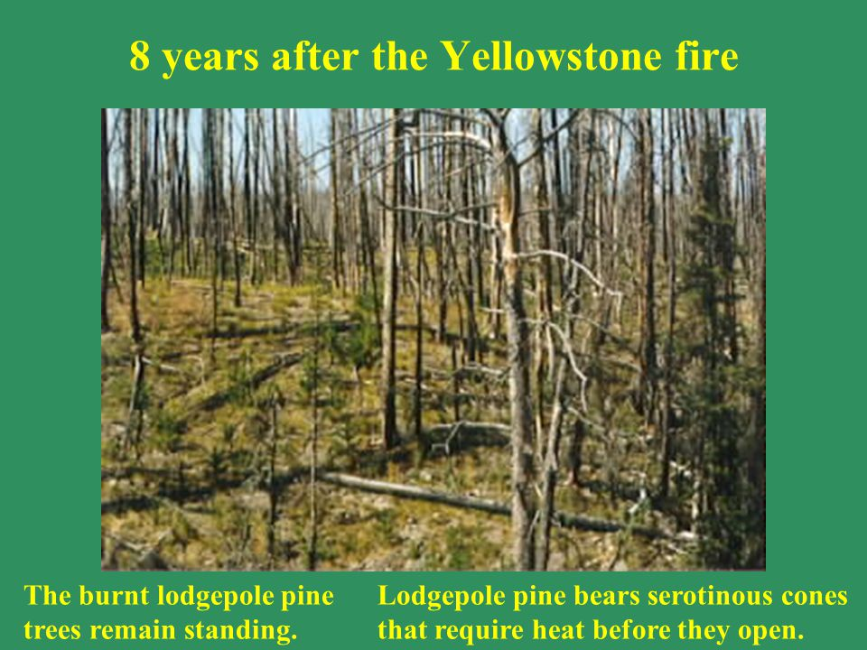 8 years after the Yellowstone fire The burnt lodgepole pine trees remain standing.