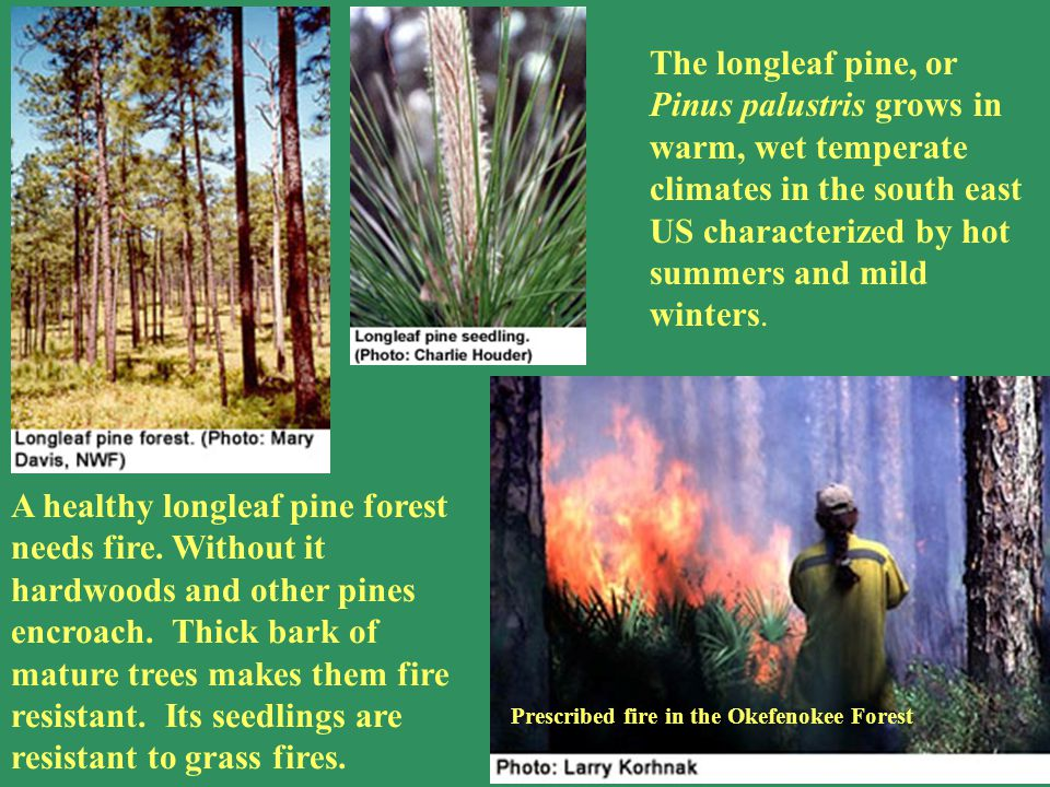 Pinus palustris The longleaf pine, or Pinus palustris grows in warm, wet temperate climates in the south east US characterized by hot summers and mild