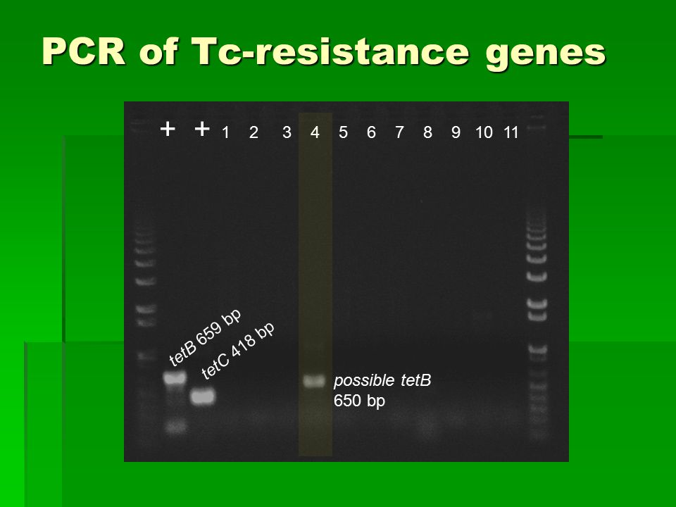 PCR of Tc-resistance genes + 1 2 3 4 5 6 7 8 9 10 11 tetB 659 bp tetC 418 bp possible tetB 650 bp