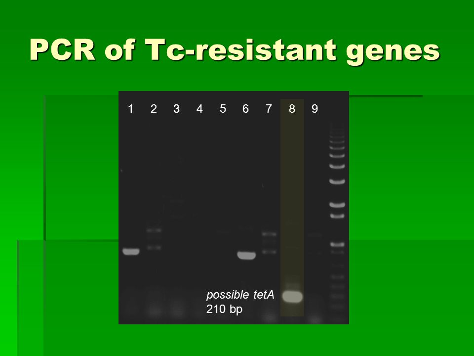 PCR of Tc-resistant genes 1 2 3 4 5 6 7 8 9 possible tetA 210 bp
