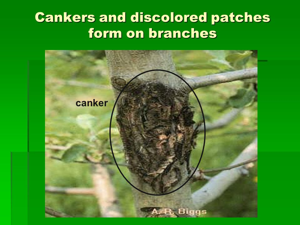 Cankers and discolored patches form on branches canker