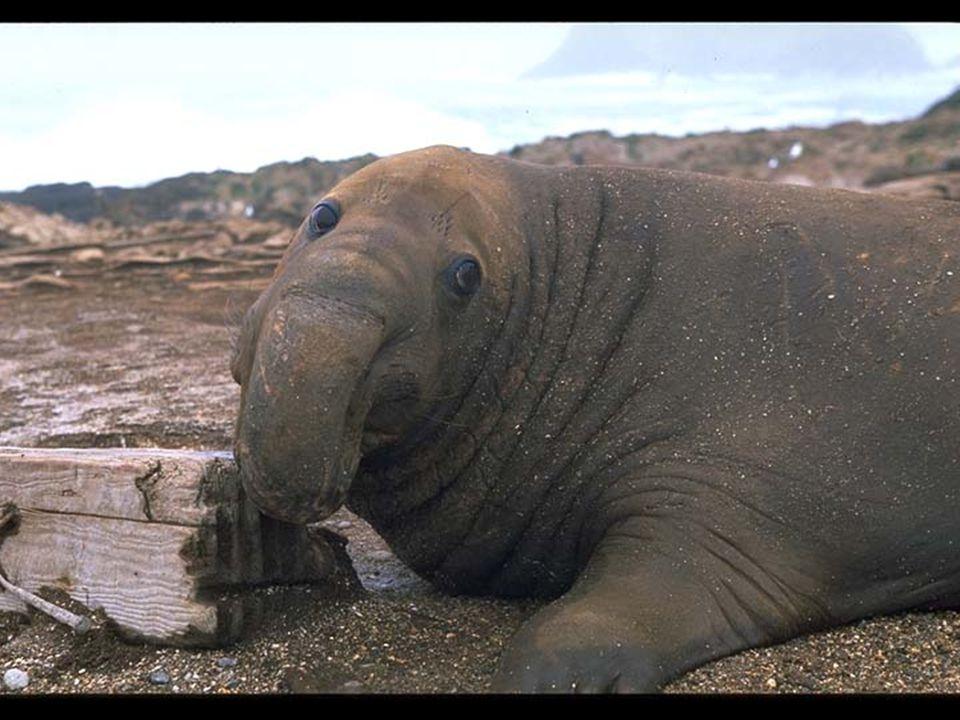 26. Elephant Seal