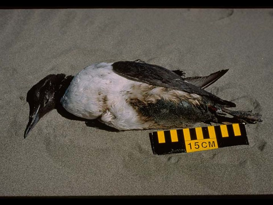 31. Oiled Murre