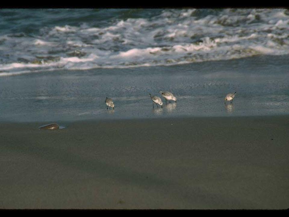 33. Oiled Sanderlings