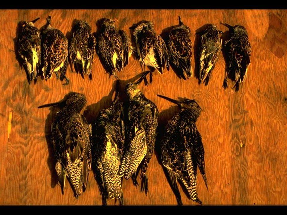 36. Assorted shorebirds