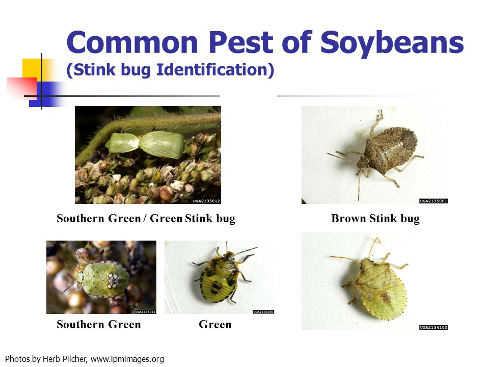 Common Pest of Soybeans (Stink bug Identification) Green Southern Green / Green Stink bugBrown Stink bug Southern Green Photos by Herb Pilcher, www.ip