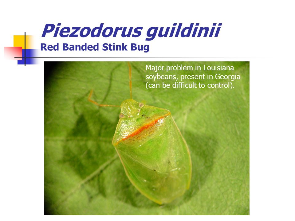 Piezodorus guildinii Red Banded Stink Bug Major problem in Louisiana soybeans, present in Georgia (can be difficult to control).