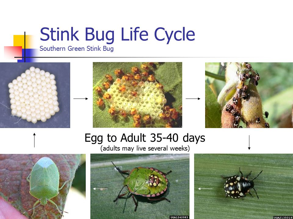 Egg to Adult 35-40 days (adults may live several weeks) Stink Bug Life Cycle Southern Green Stink Bug