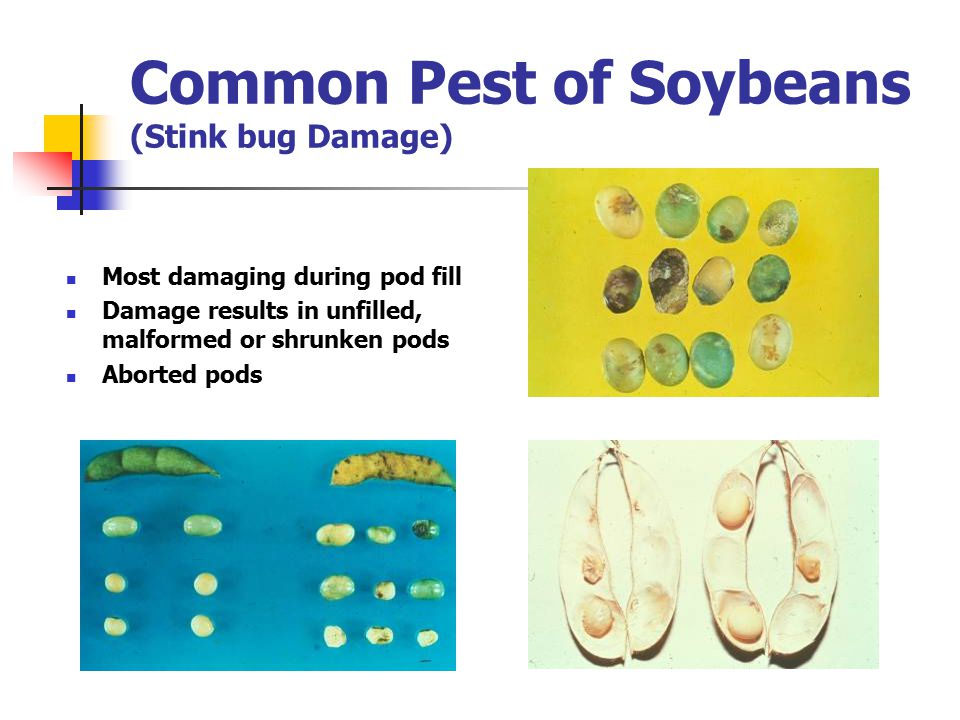 Common Pest of Soybeans (Stink bug Damage) Most damaging during pod fill Damage results in unfilled, malformed or shrunken pods Aborted pods