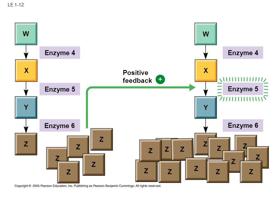 LE 1-12 W Enzyme 4 W X X Y Y Z Z Z Z Z Z Z Z Z Z Enzyme 5 Enzyme 6 Positive feedback Enzyme 4 Enzyme 6 Enzyme 5 Z Z Z Z Z Z Z Z Z