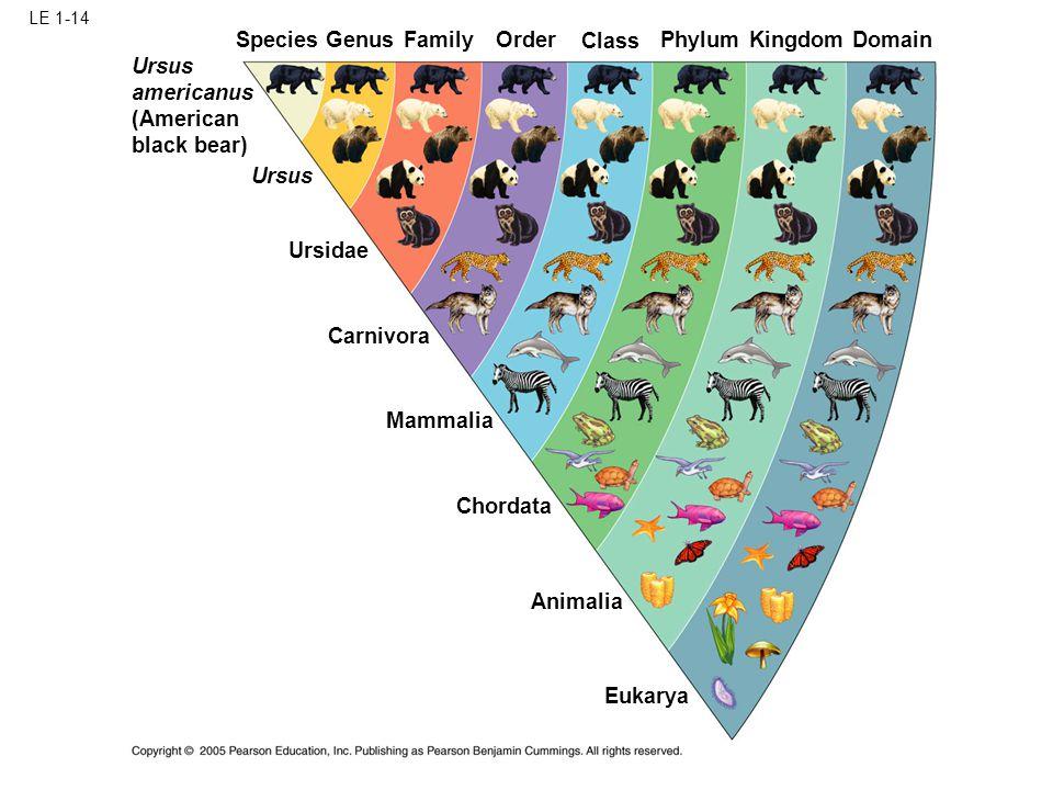 LE 1-14 Ursidae Ursus Carnivora Mammalia Chordata Animalia Eukarya SpeciesGenus Family Order Class Phylum KingdomDomain Ursus americanus (American black bear)
