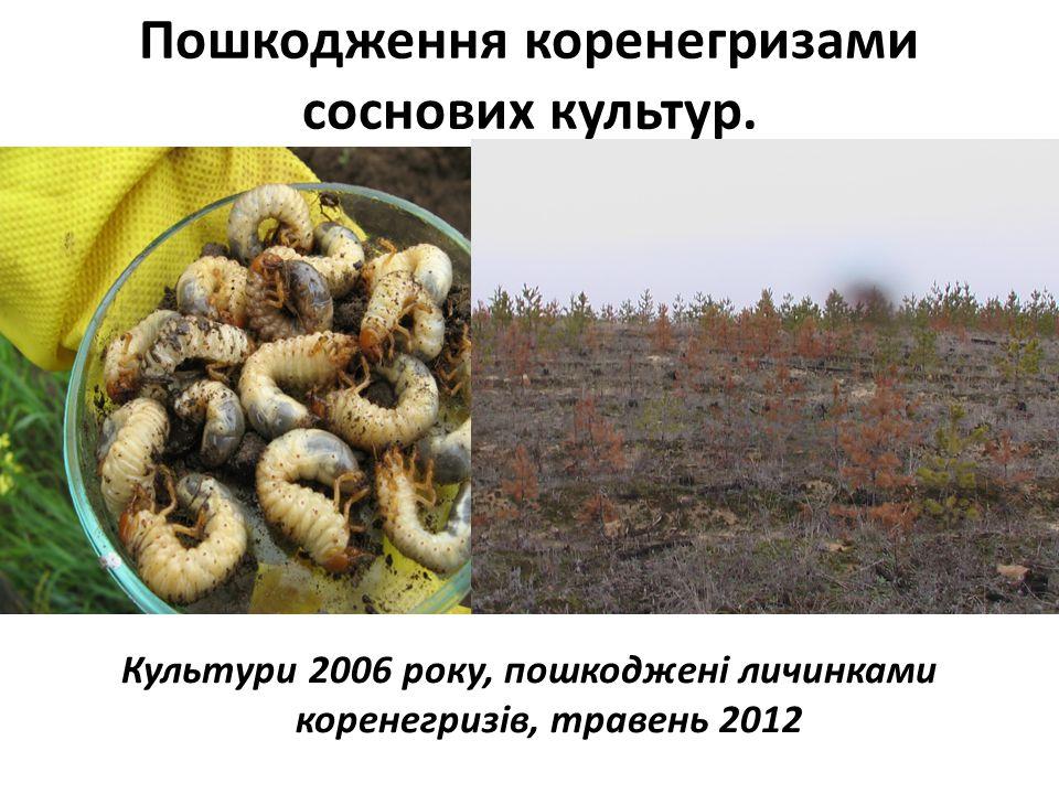 Пошкодження коренегризами соснових культур. Культури 2006 року, пошкоджені личинками коренегризів, травень 2012