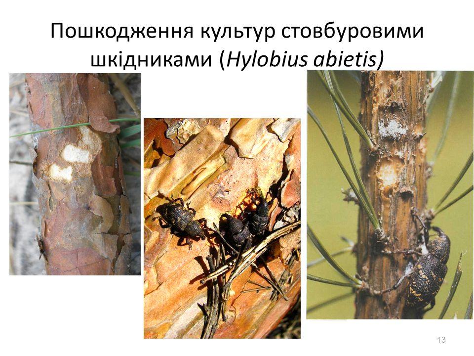 13 Пошкодження культур стовбуровими шкідниками (Hylobius abietis)
