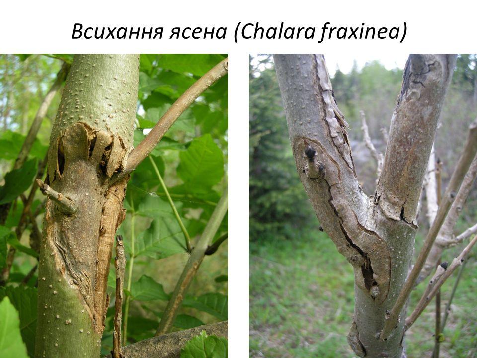 Всихання ясена (Chalara fraxinea)