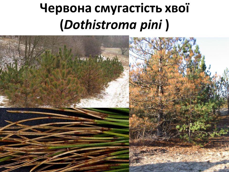Червона смугастість хвої (Dothistroma pini ) 17