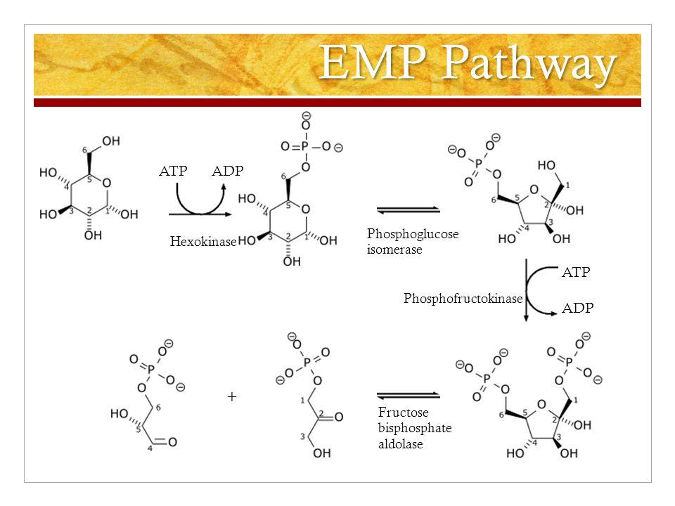 EMP Pathway ATP ADP ATP ADP + Hexokinase Phosphoglucose isomerase Phosphofructokinase Fructose bisphosphate aldolase